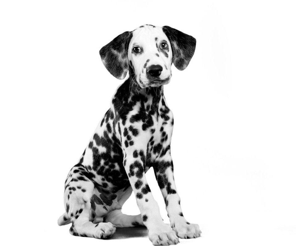 pourquoi-steriliser-mon-chien