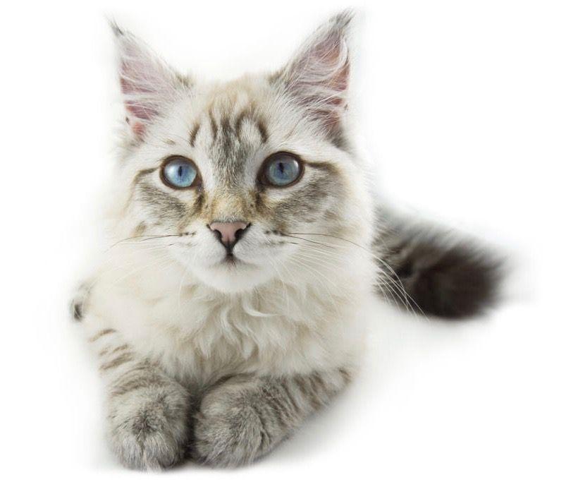 vaccination-du-chat
