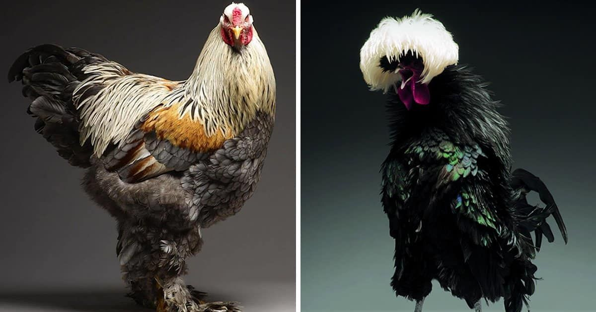 beautiful chickens-featured-1